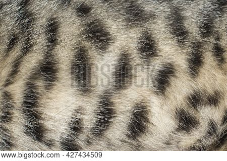 Close Up Of A Tabby Cat Fur With Characteristics Black Stripes.