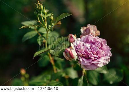 Lavender Purple Rose Novalis Blooms In Summer Garden. Close Up Of Flower. Kordes German Selection