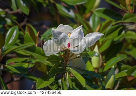 Beautiful White Magnolia Flowers On A Tree. Blooming In The Garden Magnolia Grandiflora Close-up, Fl