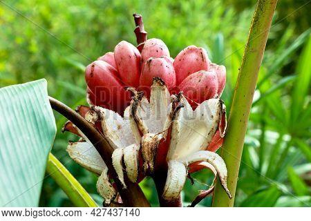 Musa Velutina, The Hairy Banana Or Pink Banana