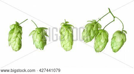 Fresh Branch Hop With Leaves Isolated On White Background. Beer Production