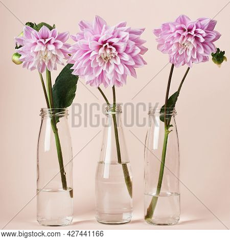 Pink Dahlia Flowers In Glass Bottles On A Peach Colored Background.