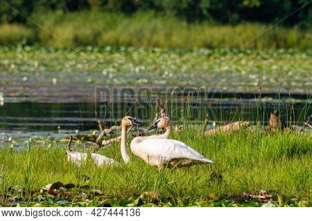 Pair Of Trumpeter Swans (cygnus Buccinator) On An Island On A Small Lake In Polk County Wisconsin Du