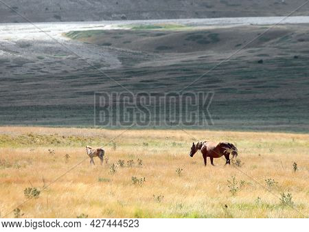 Horses In The Wild With Mum Controlling Her Foal In The Immense Boundless Prairie With Dry Grass In