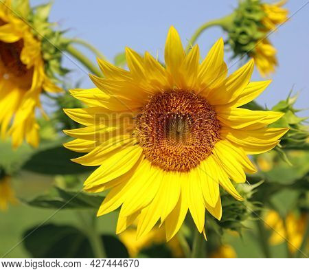 Big Yellow Sunflower In The Cultivated Field For Collecting Seeds For Oil Production