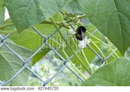 Closeup Of Bumblebee At Runner White Bean Flower Phaseolus Coccineus And Wire Fence