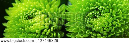 Floral Background. Close-up Of Green Dahlia In Sunlight