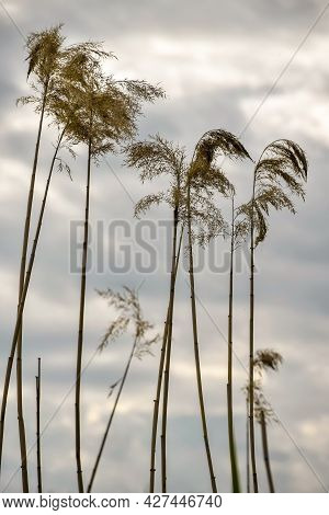 Silhouette Of Dry Thickets Of Coastal Reeds Against Background Of Gray Cloudy Sky. Pampas Grass, Bea