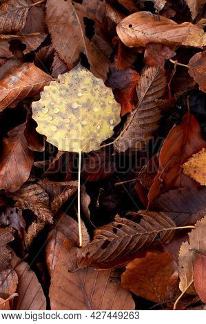 Fallen Foliage Of Brown, Orange And Yellow Colors On The Ground In A Beech Forest, Texture Of Autumn