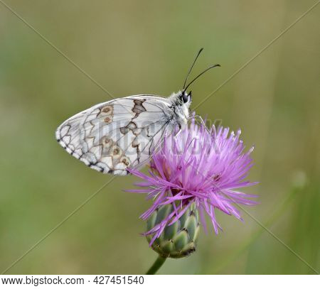 Lepidoptera Melanargia Lachesis Perched On A Thistle Flower. Side View Of The Commonly Called Iberia