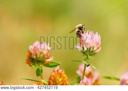 A Furry Bee Collects Nectar On A Pink Clover. Close-up, Selective Focus, Blurred Background, Copy Sp