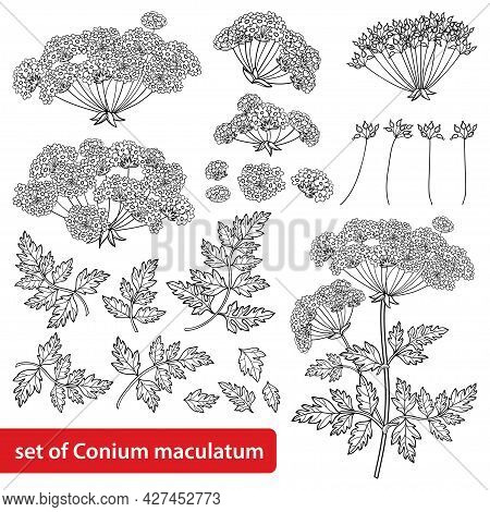 Vector Set Of Outline Toxic Conium Maculatum Or Poison Hemlock Flower Bunch, Leaf And Seeds In Black