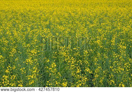 Yellow Rapeseed Flowers On A Field For Summer Background