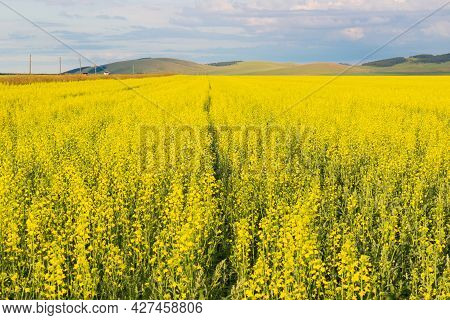 Summer Sunny Landscape With Yellow Fields Of Blooming Rapeseed And Green Hills Along The Road Under