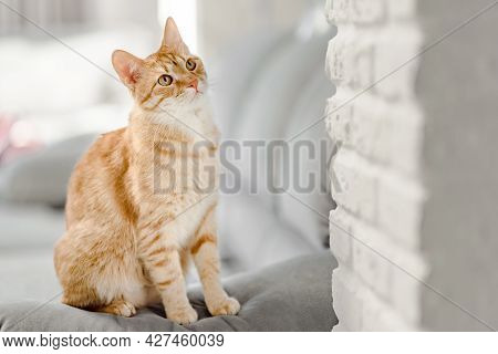 Portrait Of Ginger Tabby Cat Sitting On The Sofa