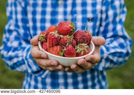 Child Picking Strawberry On Fruit Farm Field On Sunny Summer Day. Kids Hold In His Hand  Fresh Ripe