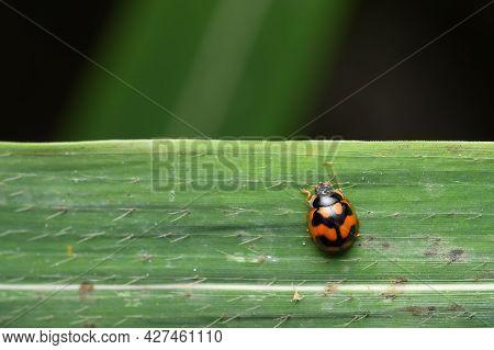 Ladybug On A Grass Blade, Coccinella Transversalis Fabricius