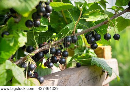 Black Ripe Berry Of Currant. Closeup Bush Of Currant. Large Berries Of Currant Are Growing In The Ga