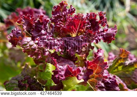 Red Salad Closeup. Grown Salad In Garden. Bush Of Red Salad Against The Background Of Foliage. Culti