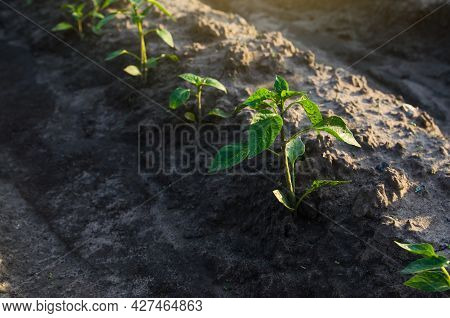 Row Of Pepper Seedlings Plants. Growing Vegetables Outdoors On Open Ground. Agroindustry. Farming Ag