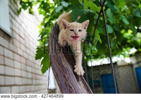 Ginger Kitten Screams Meows With Open Mouth On A Wooden Branch. Frisky Kitty Climbs Trees. Playful C