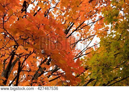 Tree Branches Closeup In Fall. Autumn Maple Trees With Leaves Change Colors.