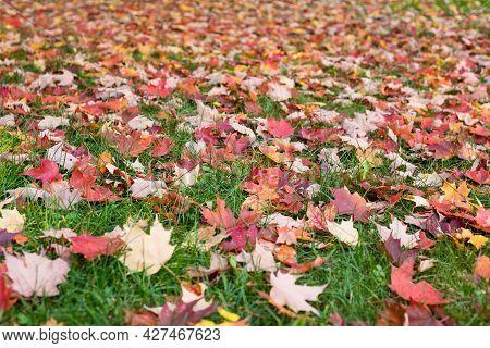 Autumn Maple Leaves Fallen On The Grass
