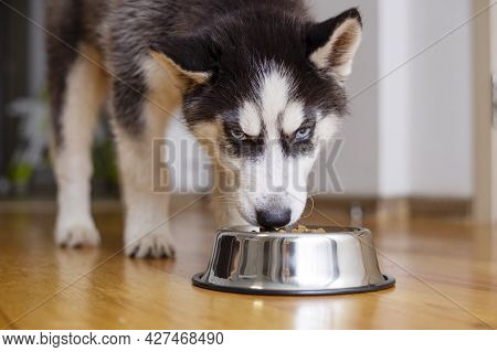 Cute Husky Puppy Eating From A Bowl At Home. The Puppy Is Eating Food. Adorable Pet.