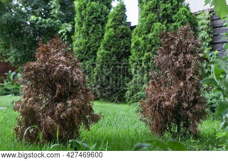 Two Little Dried Damaged Thujas In Green Garden, Other Green Bright Thujas Grow Near On Bright Succu