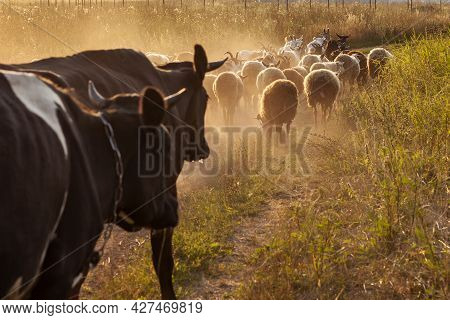 A Herd Of Livestock Walks Along A Dusty Dirt Road.