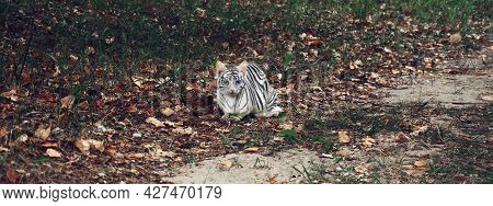 Cat, Cat, Albino Tiger With Multicolored Eyes, Blue And Yellow Eyes, Tiger Color, Albino