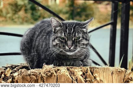 A Cat With A Gray Black Color Sits On A Stump, Green Eyes, Tiger Color Of A Cat. Yard Cat In Summer