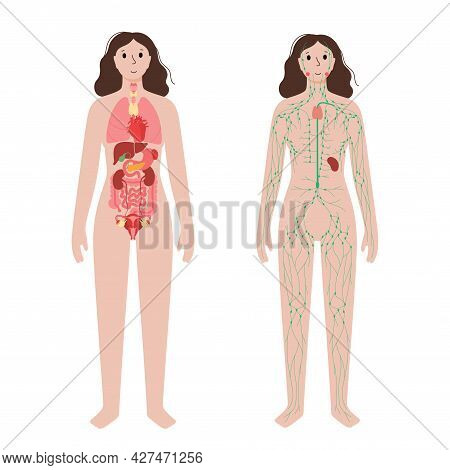 Internal Organs And Lymphatic System In Human Body. Thymus, Spleen And Lymph Nodes And Ducts In Woma