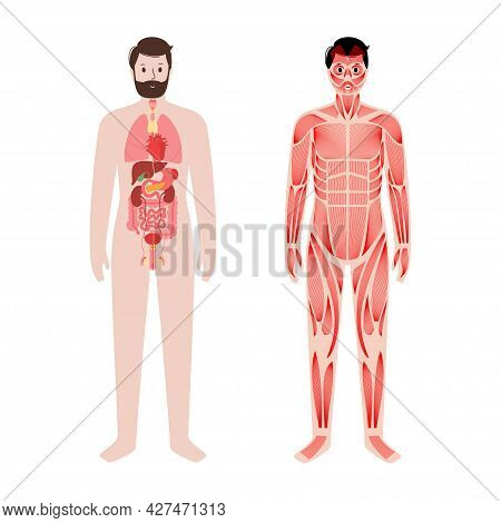 Internal Organs, Muscular System In Human Body. Structure Of Muscle Groups And Ligaments In Man Silh