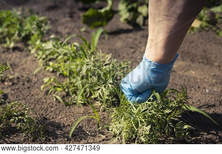 Hand Working In Garden And Pulling Out Weeds From Green Vegetable Field.