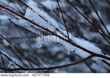 Branches Of Tree Bushes In Snow Ice In Winter In Cold Colors. Winter Landscape