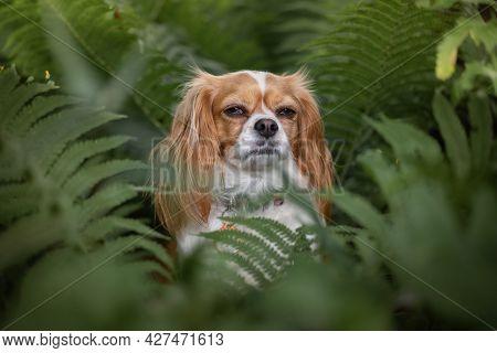 Cavalier King Charles Spaniel Sitting Calmly In The Ferns