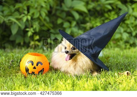 Halloween Pet. Happy Red Haired Ginger Dog Pomeranian Spitz In Black Hat Witch Costume With Pumpkin