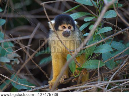 Closeup Head On Portrait Of Golden Squirrel Monkey (saimiri Sciureus) Sitting On Branch Looking At C