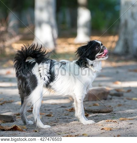 Japanese Chin, Six Months Old Puppy, Outdoor Staying On The Sand Ground.