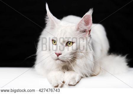 Melancholy White Cat Breed Maine Shag Cat Lying On White And Black Background. Animal Looks To Side.