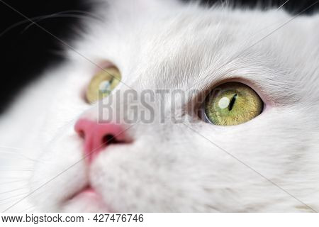 Extreme Close-up Portrait Of White Color American Longhair Cat On Black Background. Pretty Domestic