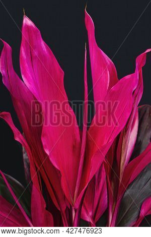 Bright Pink Cordyline Plant Growing In A Tropical Garden With Black Backdrop. A Evergreen Flowering