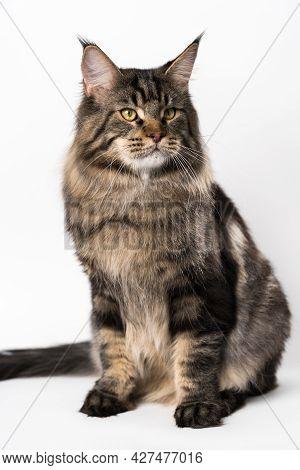 Longhair Cat Breed Maine Coon Cat. Portrait Of Fluffy Mackerel Tabby American Longhair Cat Sitting O