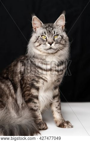 Lovely Mackerel Fluffy Tabby Maine Coon Cat Sitting On Black And White Background And Looking At Cam