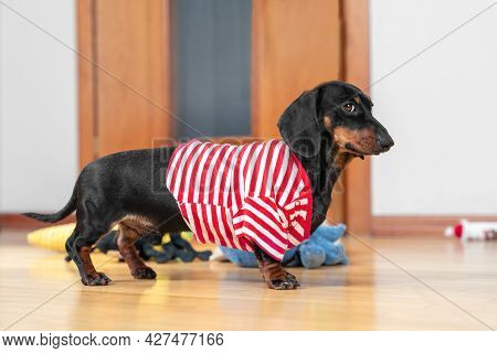 Funny Dachshund Puppy In Home Red And White Striped T-shirt Obediently Stands And Waits For A Walk,