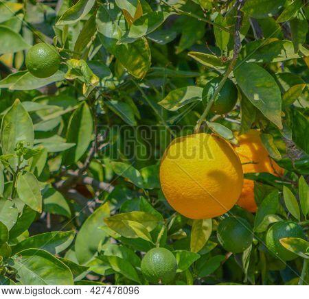 Ready To Pick Oranges In Santa Clara River Valley, Fillmore, Ventura County, California