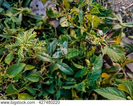 Euphorbia Hirta Is A Pantropical Weed, Possibly Native To India. It Is A Hairy Herb That Grows In Op