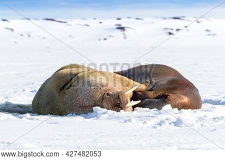 A pair of walruses, odobenus rosmarus, hauled out and resting on the sea ice and snow. Svalbard, a Norwegian archipelago between mainland Norway and the North Pole.