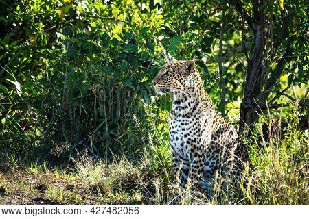 Beautiful young adult leopard, Panthera pardus, in the undergrowth of the Masai Mara, Kenya. Side profile.  This cat has distinct black and gold rosette markings.